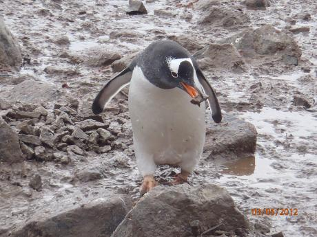 Williams captured this photo of an Antarctic penguin in 2012